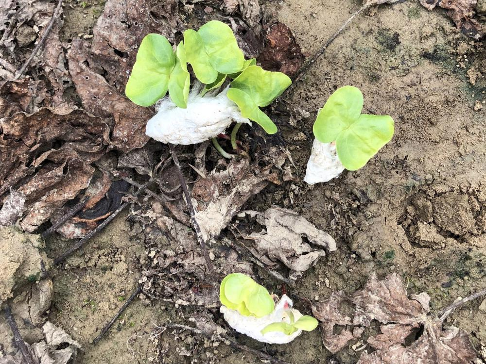 Cotton with sprouting plants lies on muddy ground.