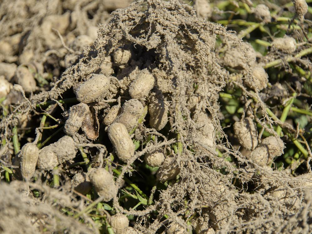 A clump of light-tan peanuts hang on their freshly dug roots just above ground.