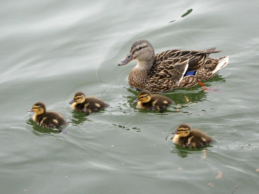 A mother duck floats with her four babies on a pond.