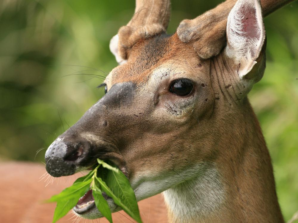 deer with velvet antlers chewing leaf