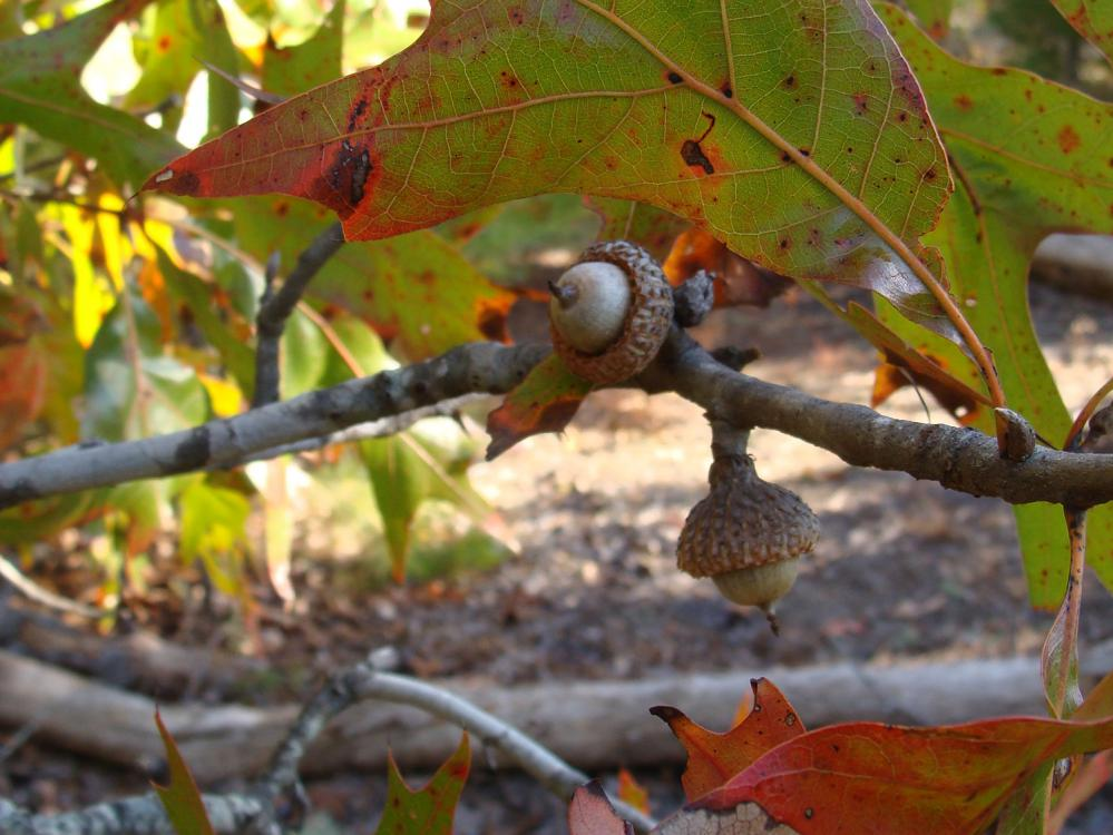 Close up view of a small limb with two acorns and multicolored leaves in a part-sunny, part-shady location.