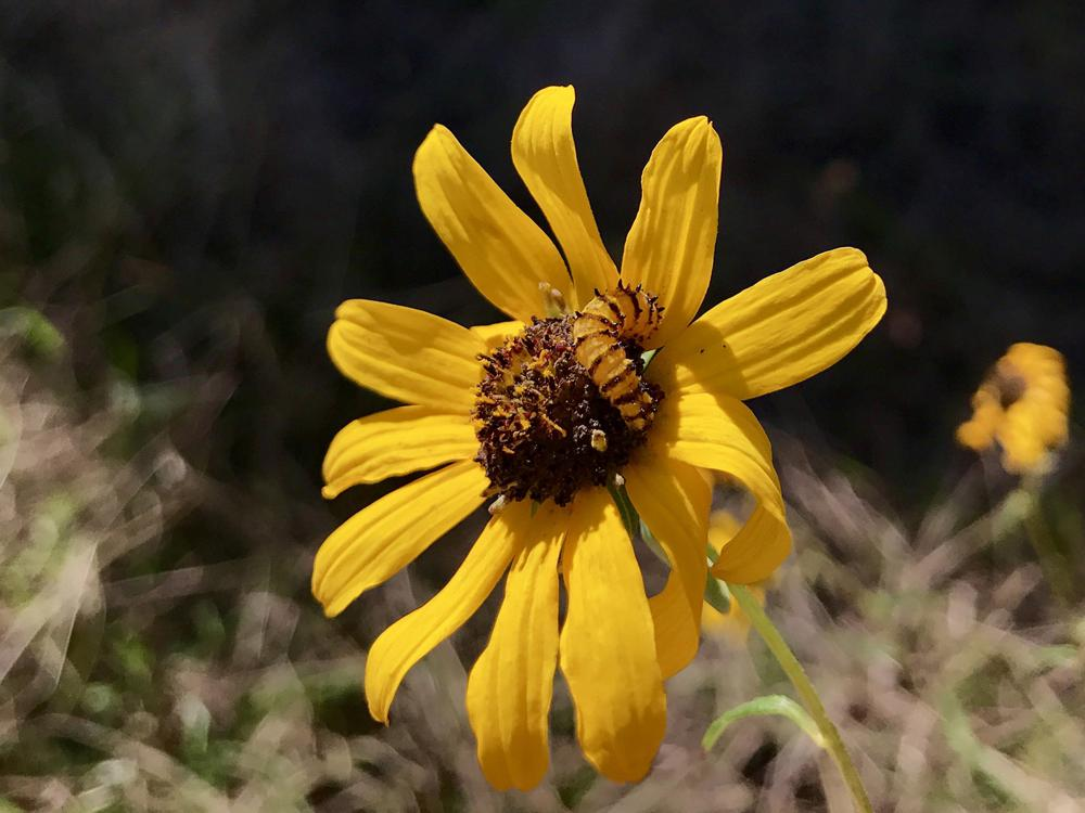 A yellow worm with small brown stripes circling its body crawls over the brown center of a flower surrounded by bright yellow petals.