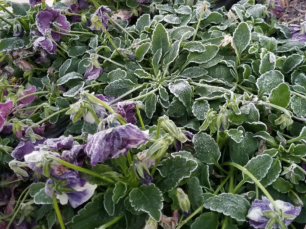 Purple pansy flowers and leaves are drooping and covered with a layer of frost.