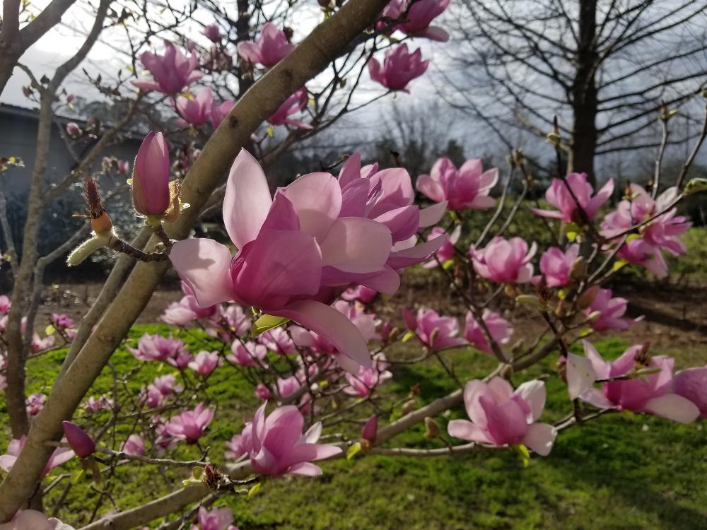 Saucer magnolias bloom before the leaves emerge, making their huge flowers the main attraction. (Photo by MSU Extension/Gary Bachman)