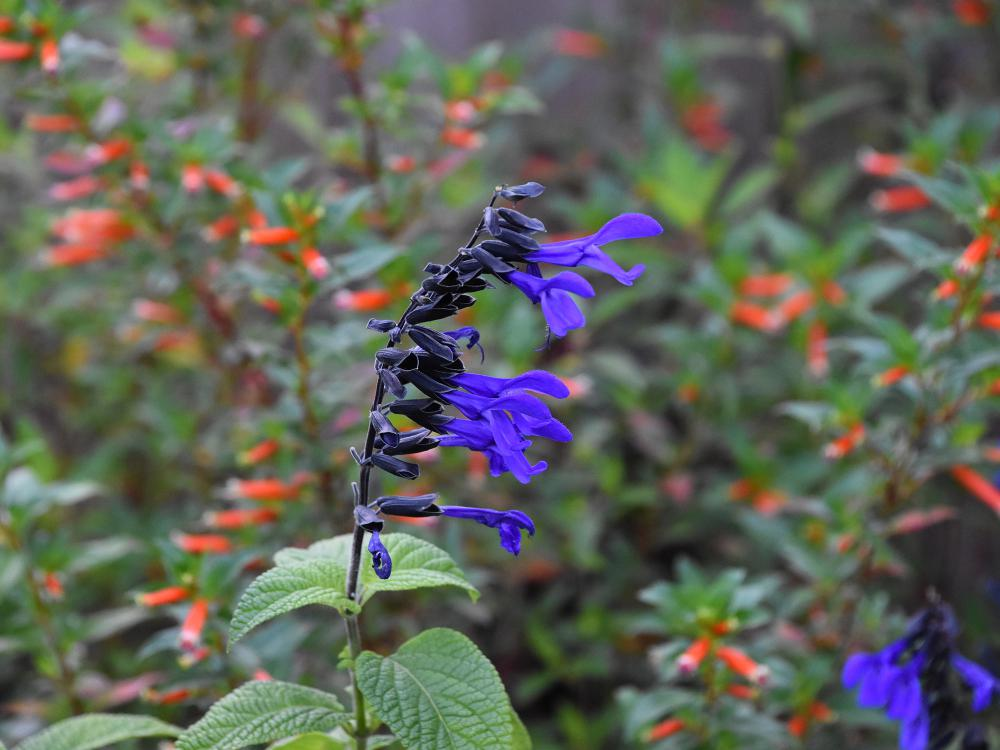 Several deep blue flowers line the upright stem of a plant.