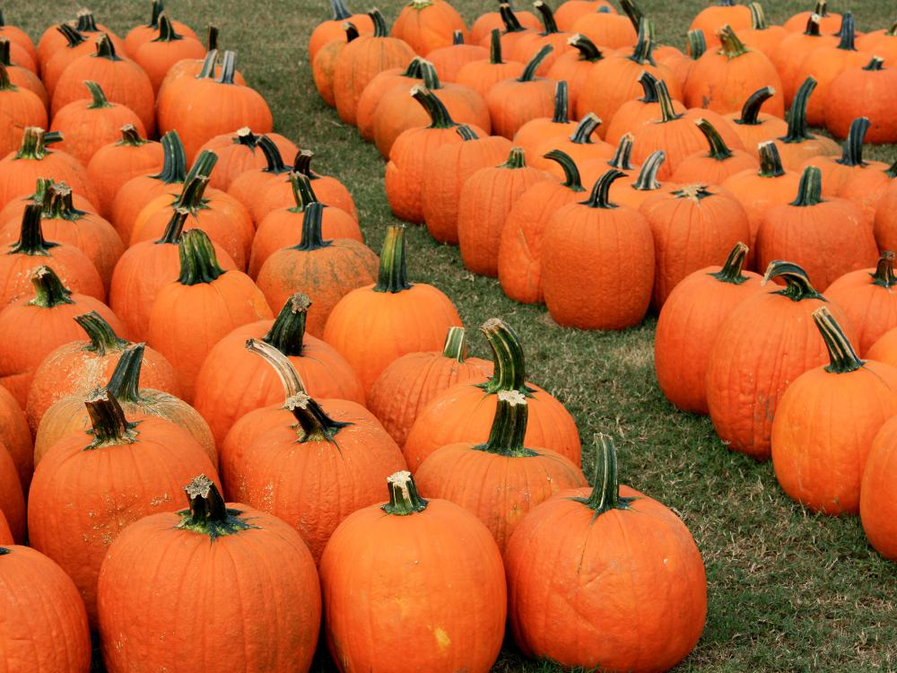 Dozens of bright-orange pumpkins sit in rows on the grass.