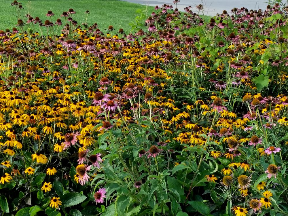 A sea of yellow flowers with black centers and pink flowers with orange centers cover a flower bed.