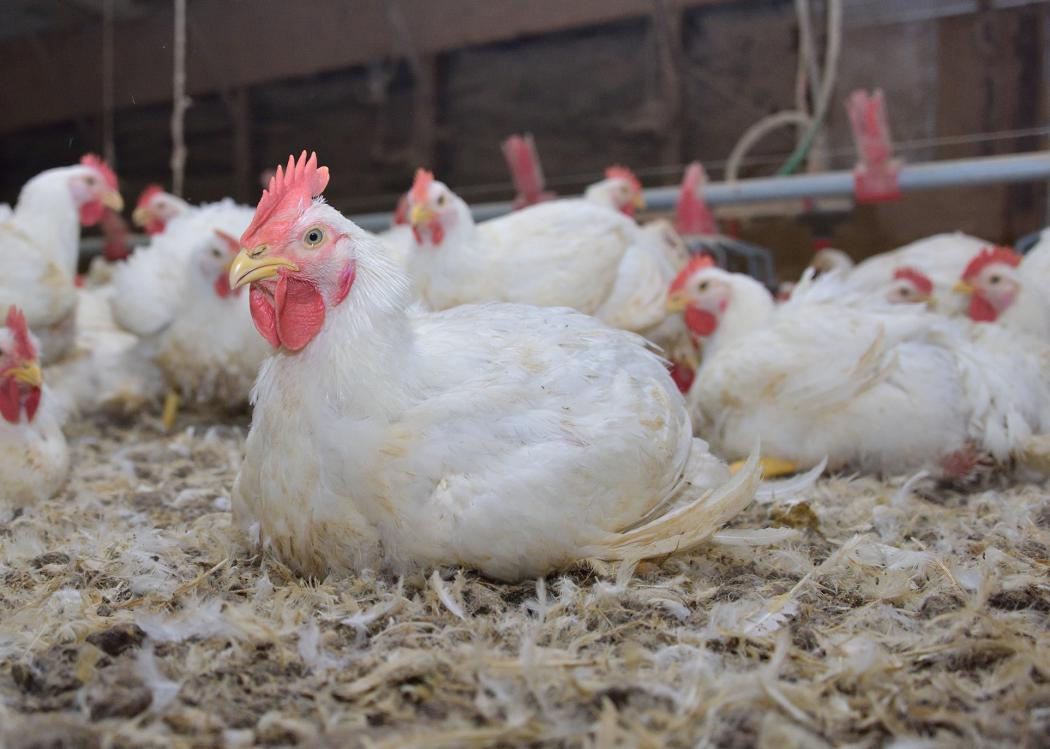 A white chicken sits among a flock of chickens in a poultry house.