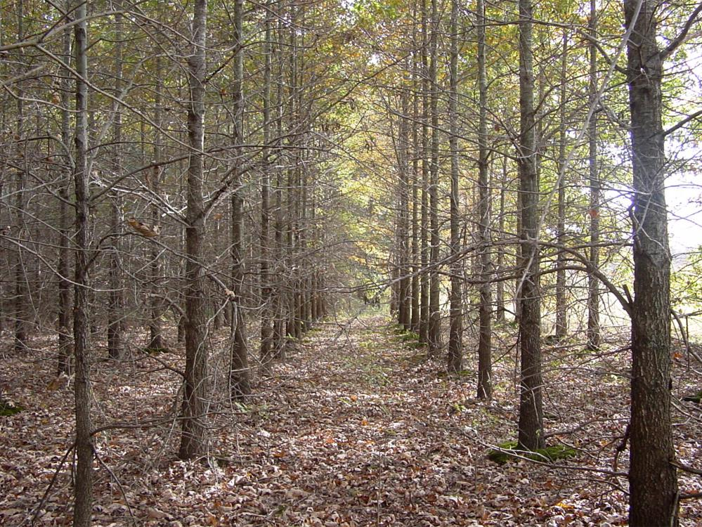 Rows of evenly spaced, young trees with brown leaves on the ground.