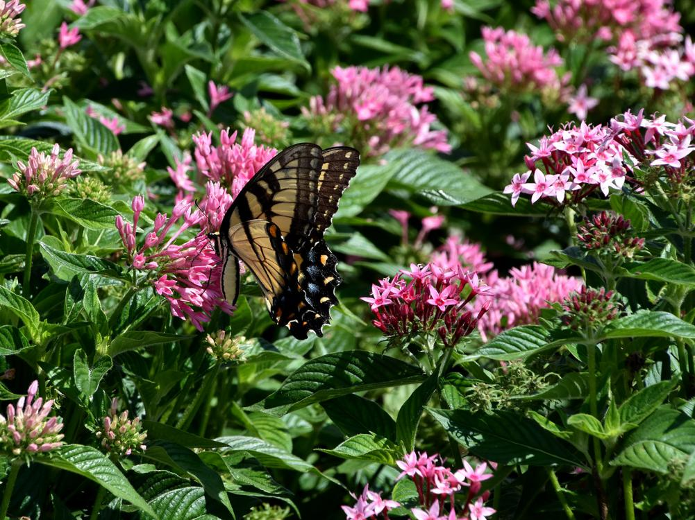 A tiger swallowtail butterfly rests on a cluster of pink blooms rising above green leaves.