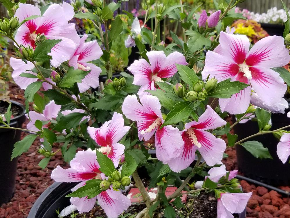 Nearly a dozen light-pink flowers with dark-pink centers grow in a large circular container.