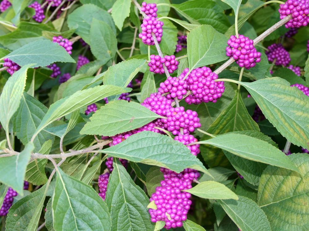 Clusters of small, reddish-purple berries line branches among a sea of green leaves.