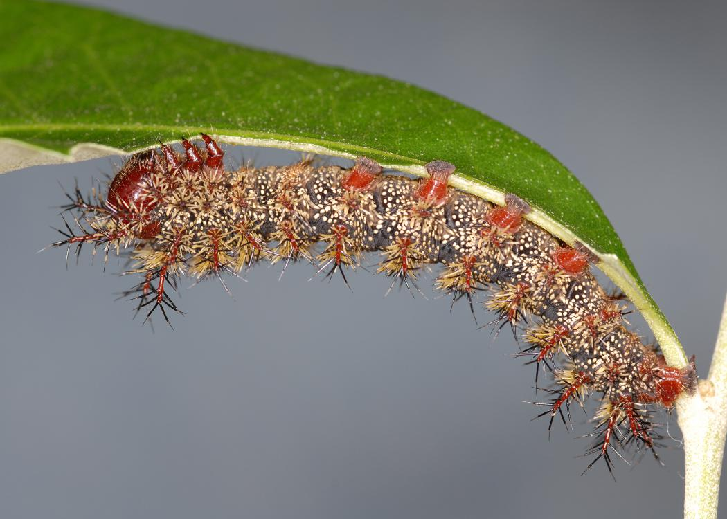 A gray caterpillar covered in tiny brown spines hangs upside down on a green leaf.