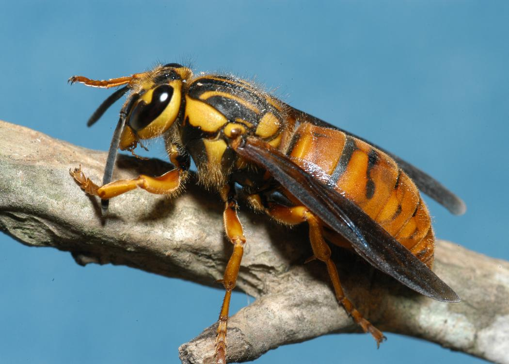 A closeup of a Southern yellowjacket queen.