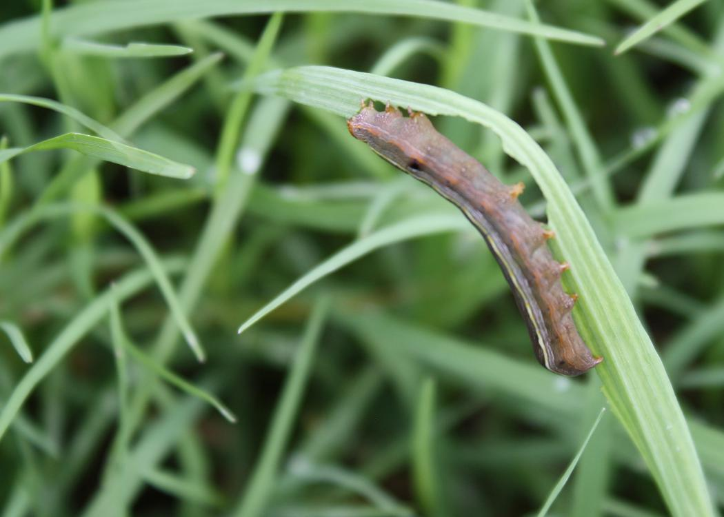 A brown caterpillar hangs upside down on a curving blade of grass.