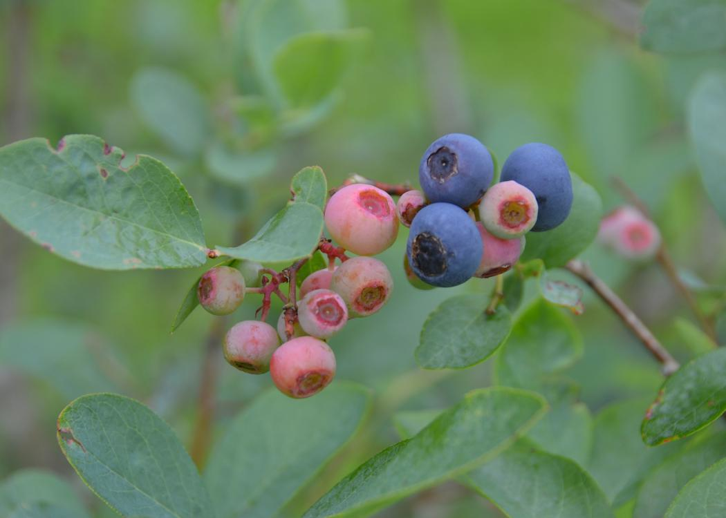 Closeup of blueberries in various stages of ripeness.
