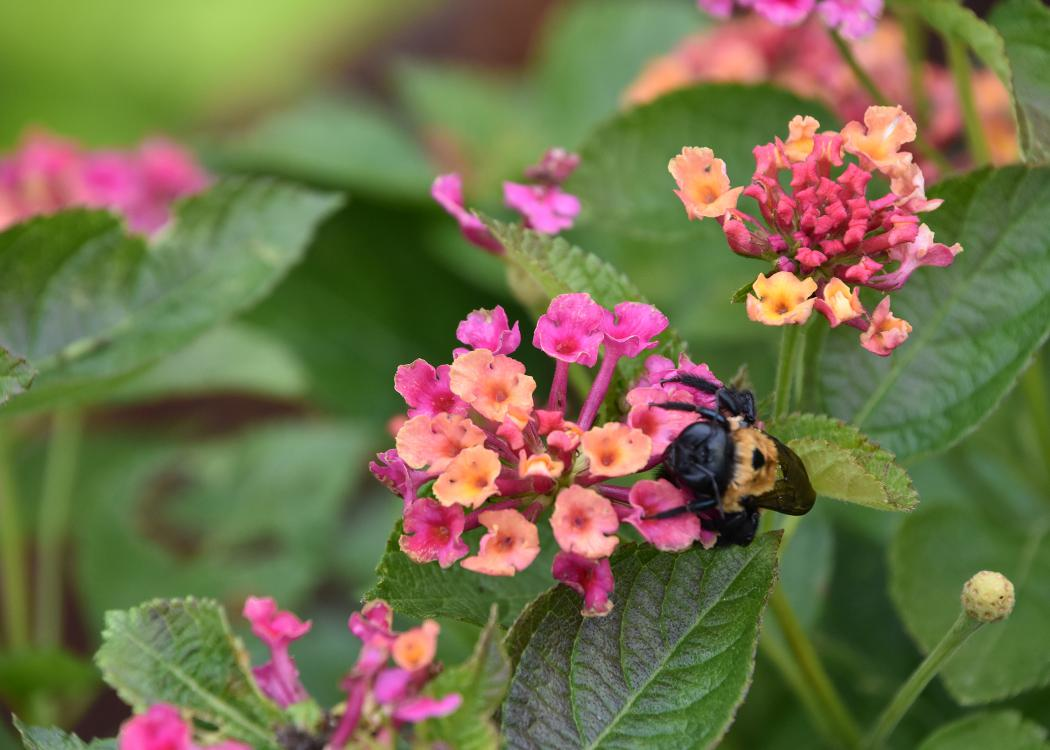 A bumblebee climbs on a single, pink-and-orange cluster of blooms.