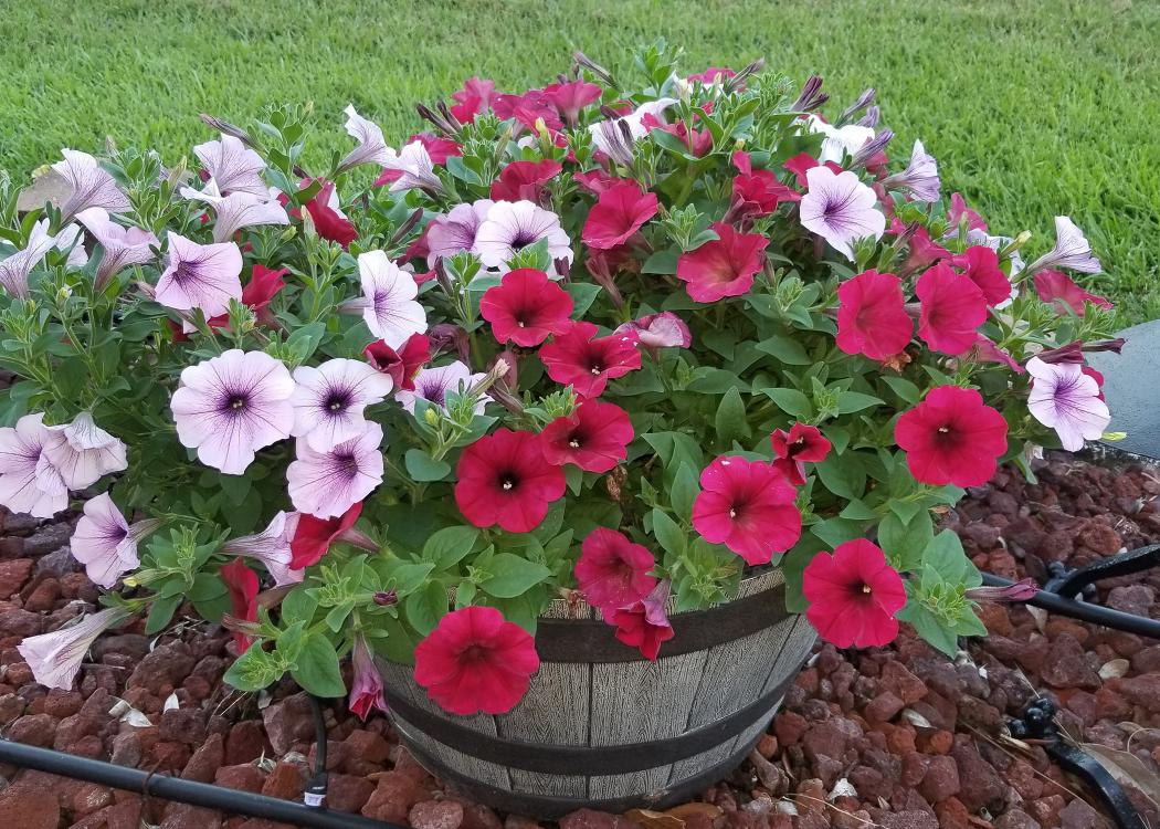 Red and white flowers with purple centers cover a plant growing from a wooden barrel.