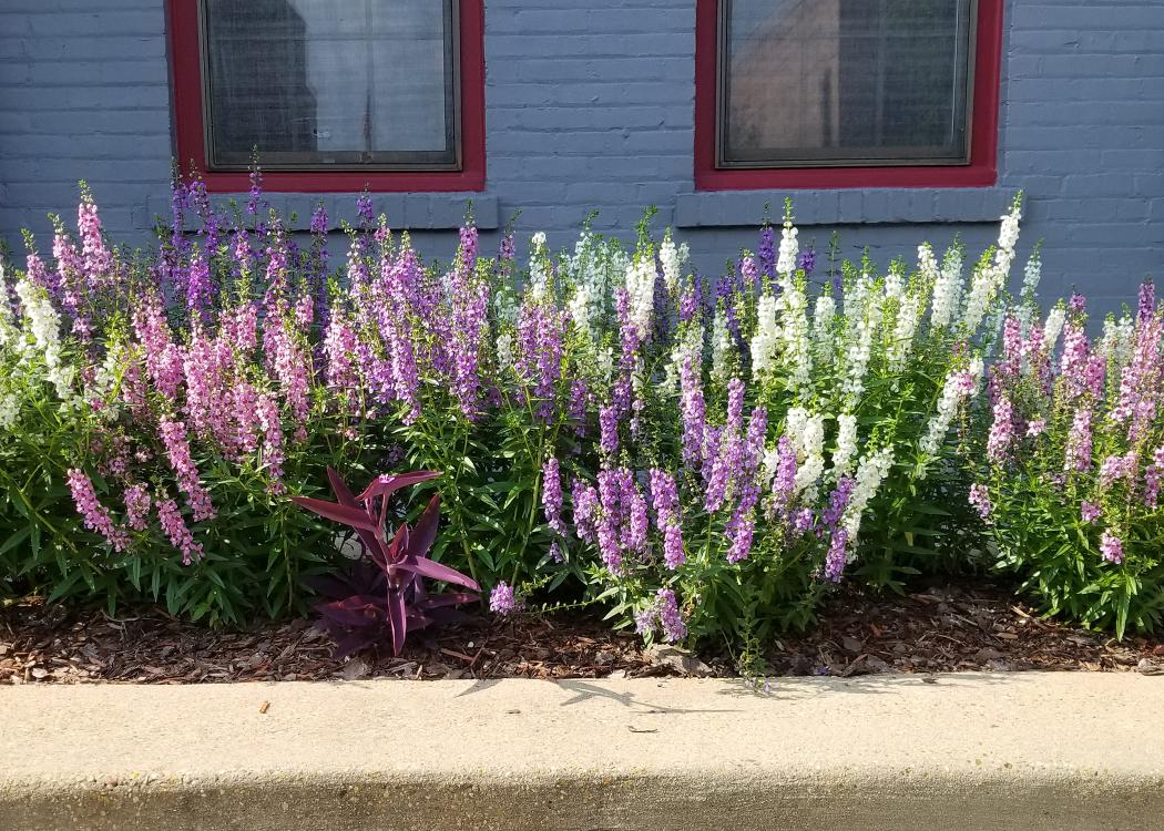 Dozens of white and purple flower stalks rise from a stand of green plants in a cement planter.