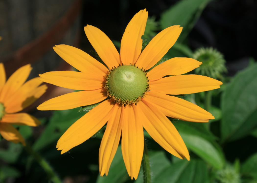 A single flower with yellow petals and a green center blooms above green foliage.