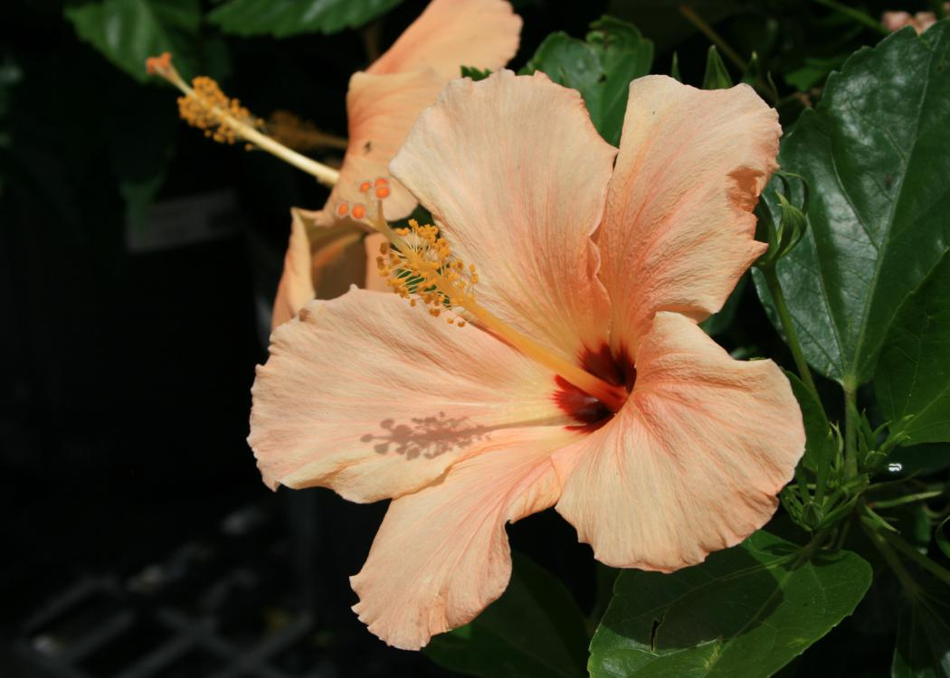 A large, peach-colored flower blooms wide open against dark-green leaves.