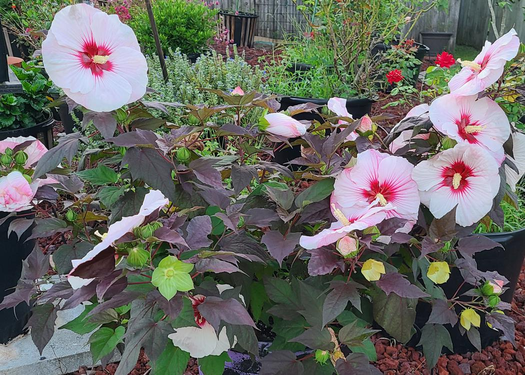 A plant with dark, almost purple leaves has large, pink blooms with red centers.
