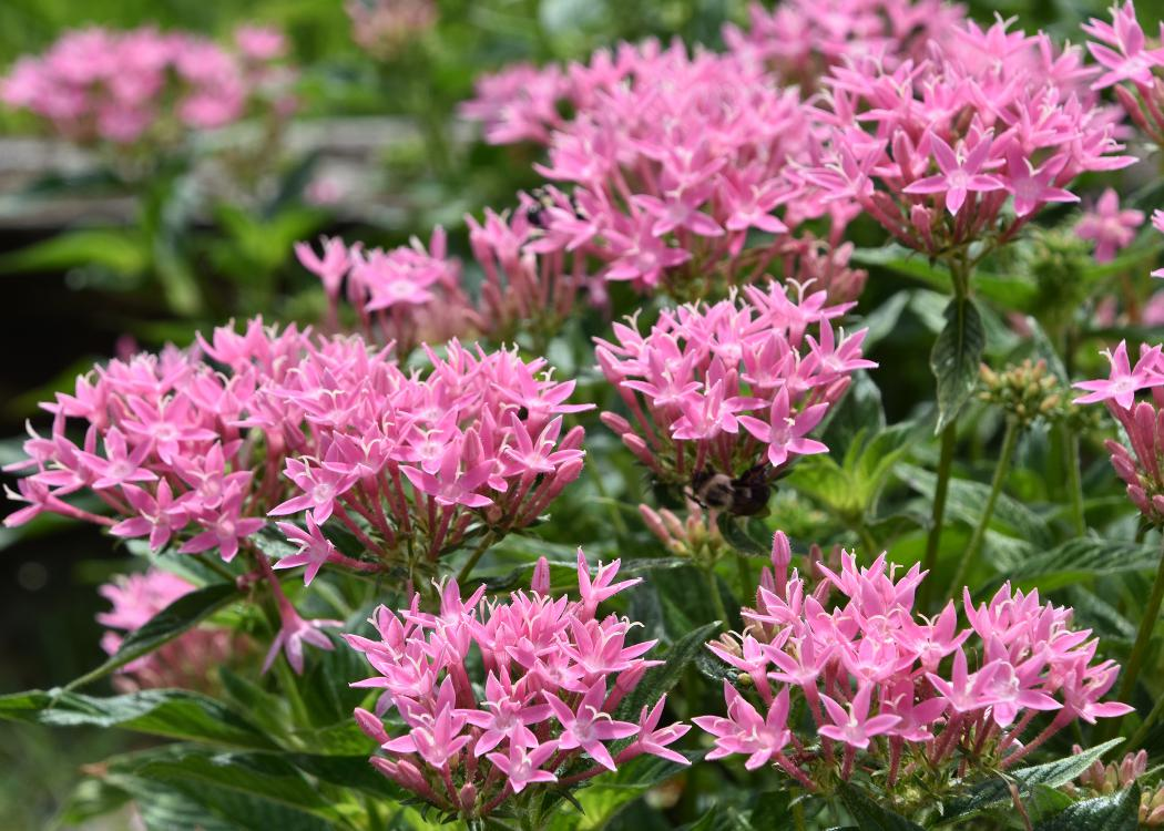 Dozens of pink flowers in clusters rise above green foliage.