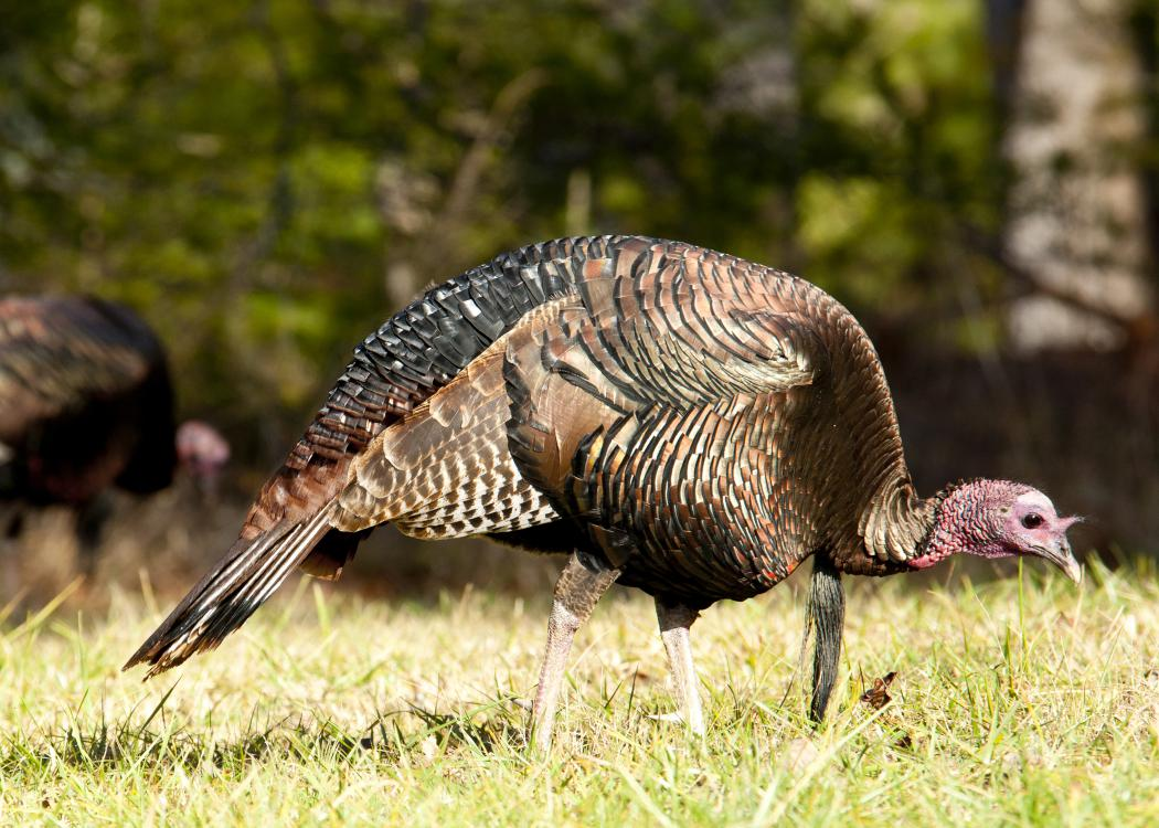 A wild gobbler turkey with brown and black feathers and a red head.