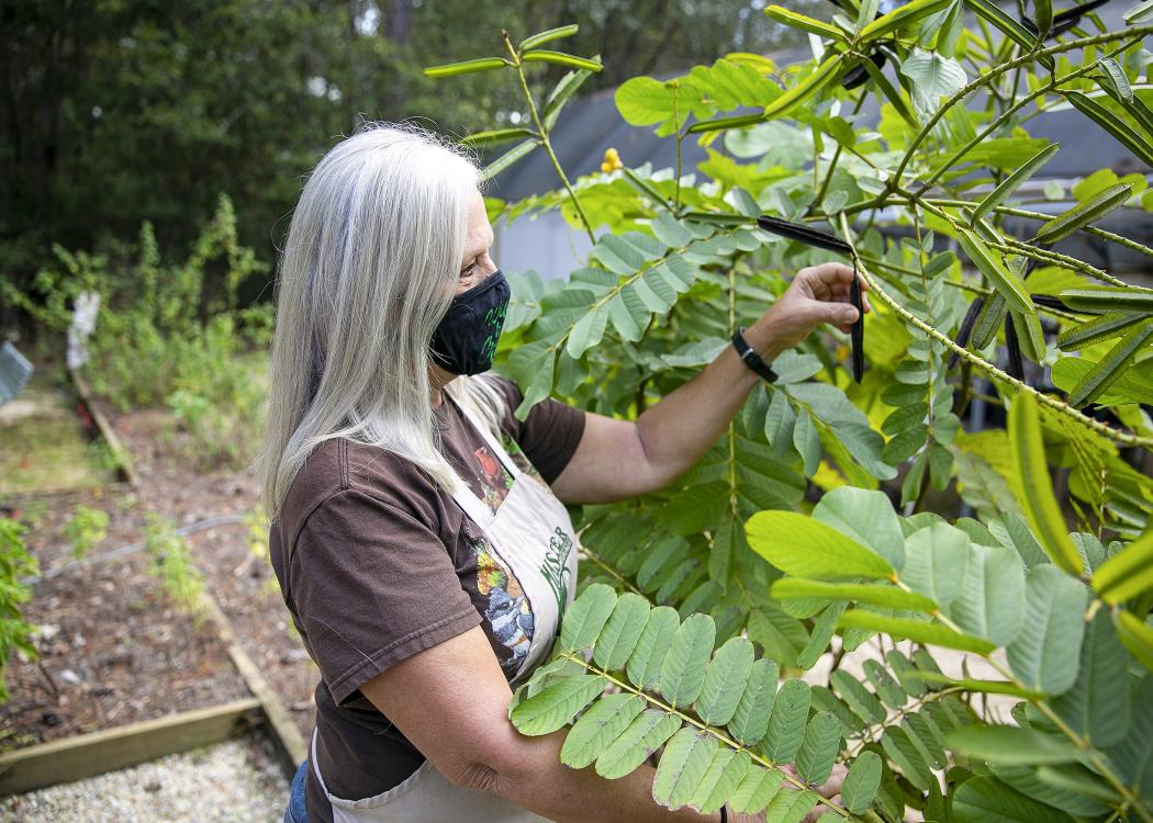 A woman reaches for a seed pod on a small tree.