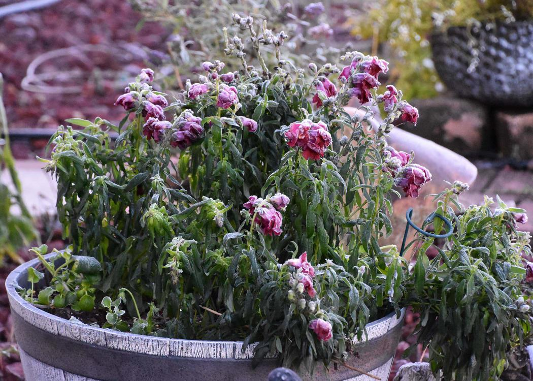 A container of plants droop under a coating of frost.