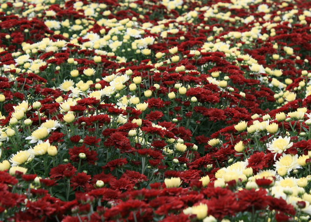 Maroon and white flowers cover a carpet of green foliage.