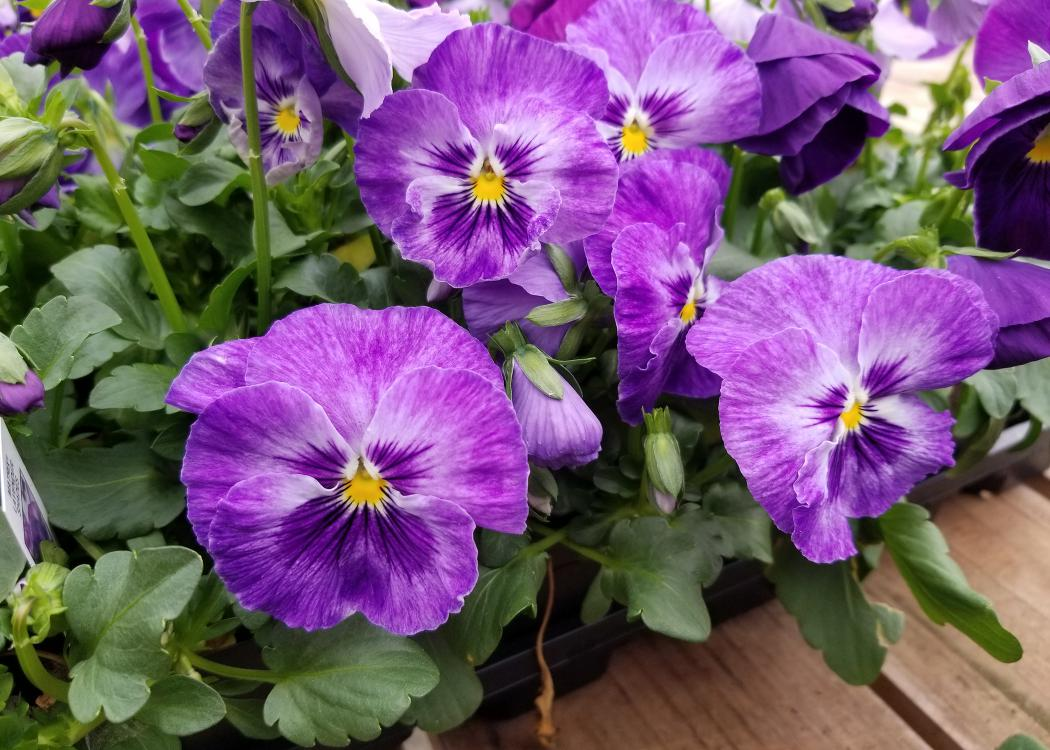 Purple blooms have small, yellow centers.