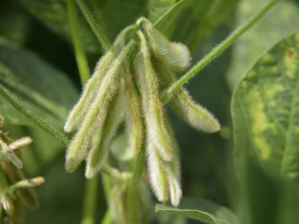 Irrigated or not, most Mississippi soybeans are growing well in the midseason weeks thanks to timely showers. These Noxubee County soybeans are part of the state's 2.05 million acres on July 21, 2016. (Photo by MSU Extension Service/Kevin Hudson)