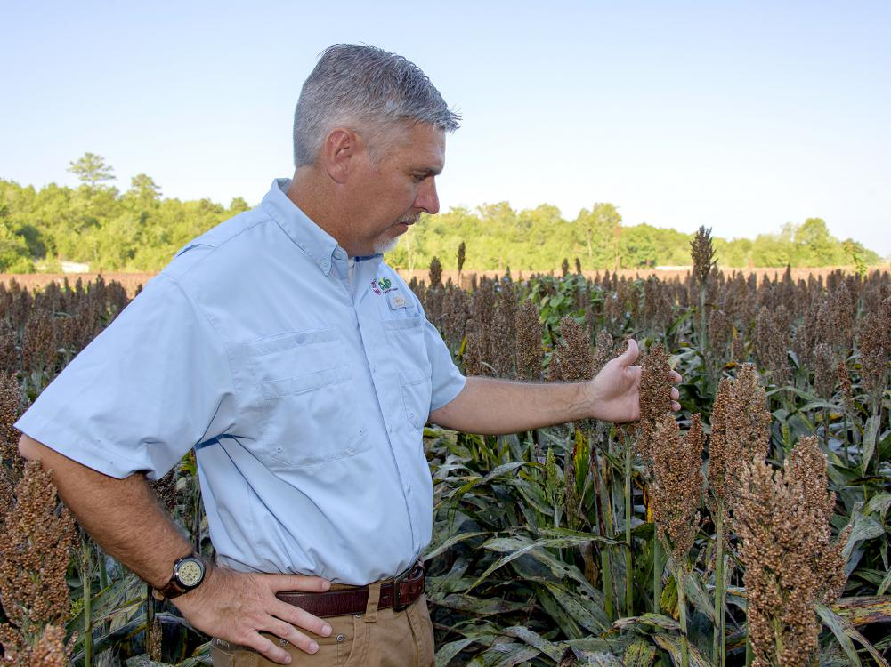 Grain sorghum acreage was low this year because of low prices and sugarcane aphid problems. Mississippi State University Extension Service specialist Erick Larson examined sorghum ready for harvest Sept. 15, 2016, at MSU's R.R. Foil Plant Science Research Center in Starkville, Mississippi. (Photo by MSU Extension Service/Kevin Hudson)