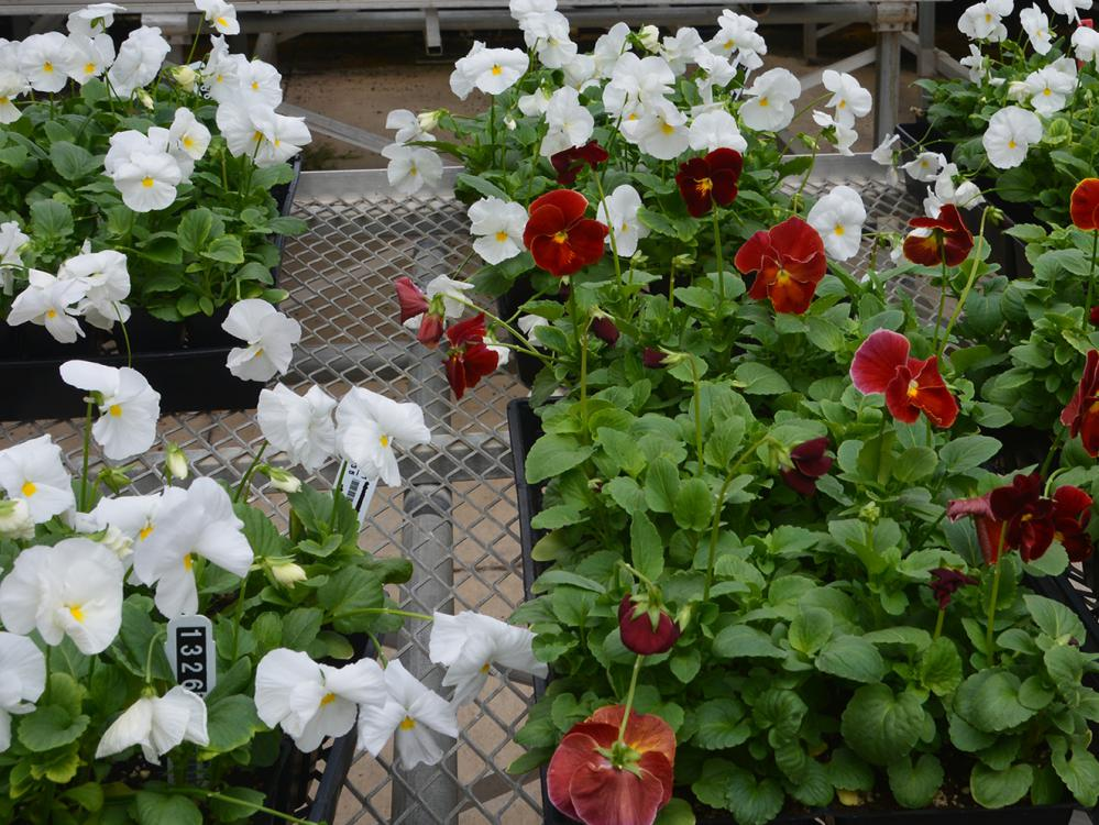 Fall chrysanthemums are right behind these blooming pansies, and both will be available at the Mississippi State University horticulture club's annual fall plant sale. The sale will take place from 8 a.m. until 5:30 p.m. Oct. 6 and 7 at the Veterans Memorial Rose Garden, located at the Highway 182 entrance to the R.R. Foil Plant Science Research Facility. (Photo by MSU Extension Service/Linda Breazeale)