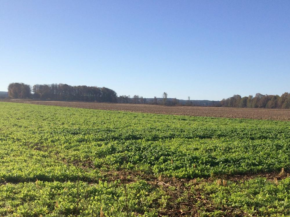 A radish cover crop planted in early fall as part of a research demonstration project is thriving at Michael Graves' farm near Ripley, Mississippi. (File Photo by MSU College of Forest Resources)