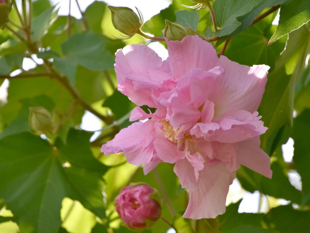 Confederate Rose is an old-fashioned heirloom plant that is actually a hibiscus, not a rose. (Photo by MSU Extension/Gary Bachman)