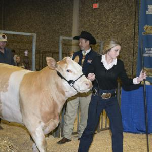A teenage girl leads a light brown and white cow by a harness.