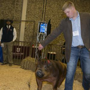 A teenage boy leads his hog into a hay covered arena.