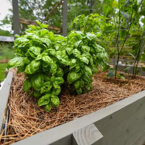 A large bunch of green basil surrounded by brown pine straw in a wooden planter.