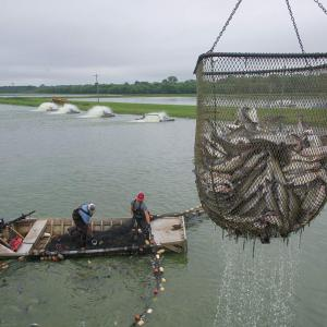 A net full of catfish in the foreground; two men in a boat pull another net through the water.