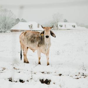 A cream cow in a white, snowy field.