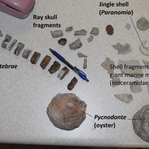 Fossils on a table, including ray skull fragments and vertebrae, jingle shells, shell fragments, and oyster, with a pen and phone.