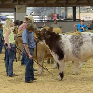 Livestock exhibitors in the ring with cows at the Mississippi State Fair.
