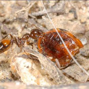 A fire ant eats the carcass of a dead insect.
