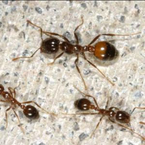 Four brown and black fire ants.