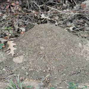 A fire ant mound sits in front of twigs and dead leaves.