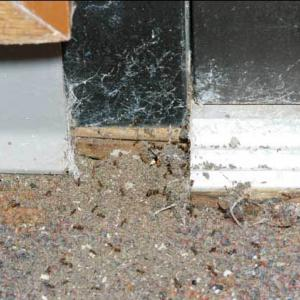 Several fire ants entering a building around an old door and bringing particles of soil inside.