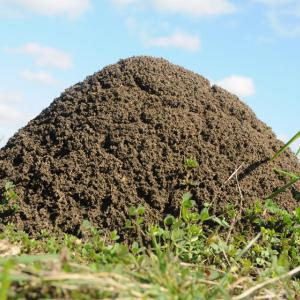 A large, dome-shaped fire ant mound.
