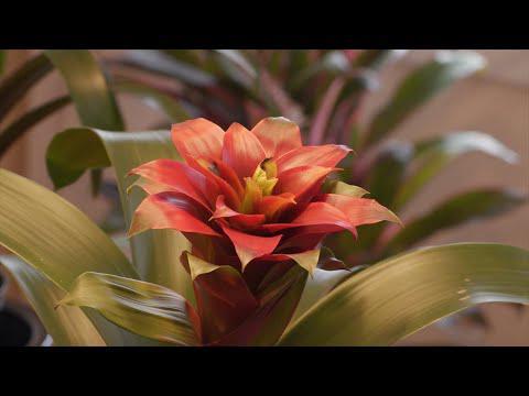 Bromeliad Care